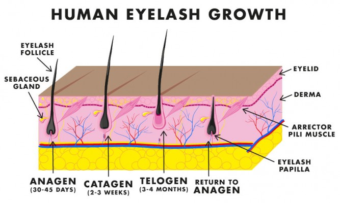 Lashes_IL_September_diagram-01